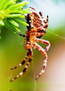 European garden spider called cross spider. Araneus diadematus s